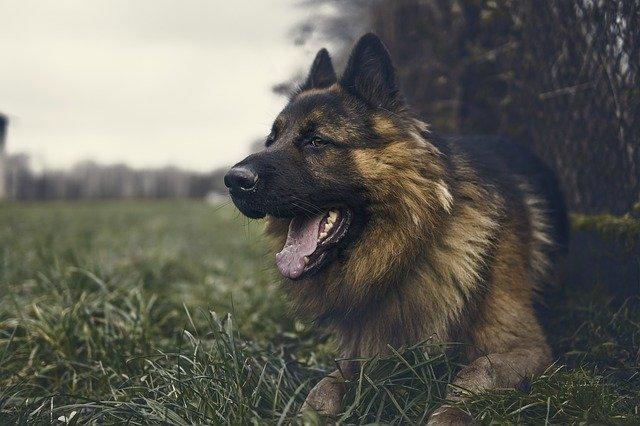 německý ovčák